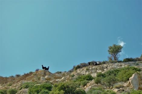 Cabras Icaria