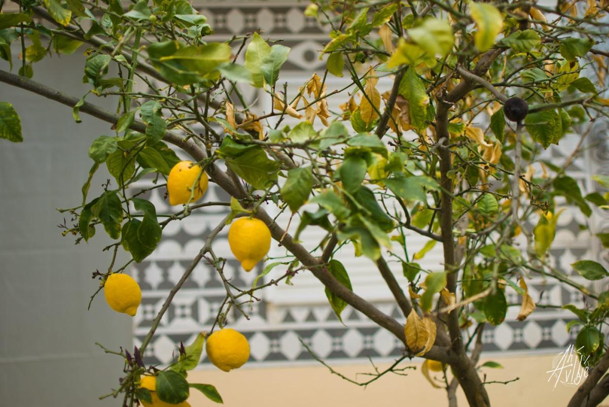Limonero en Pirgi